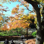 【スポット】黄金色と紅のグラデーション。昭和記念公園の紅葉