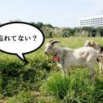 IKEA立川隣のヤギ、ボーボーだった草はいま?