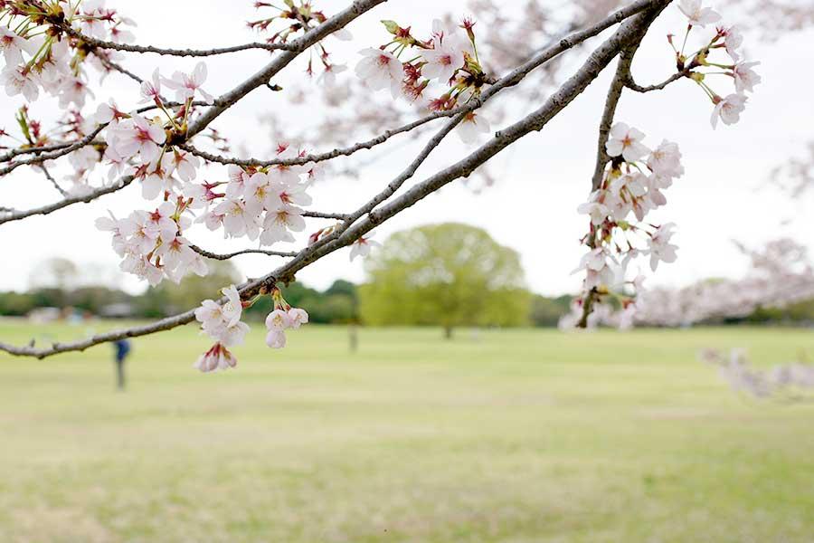桜昭和記念公園18