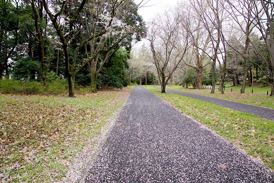 桜昭和記念公園1