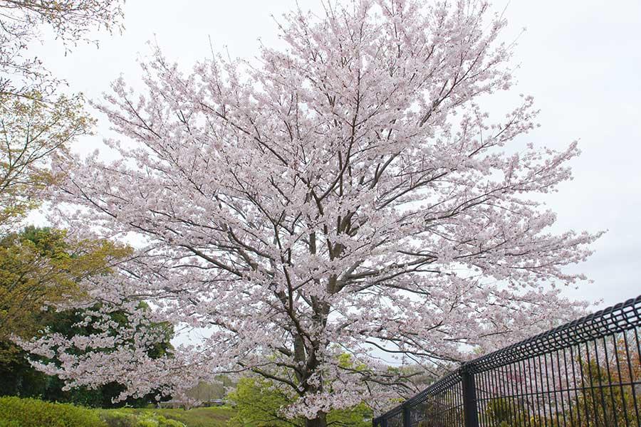 桜昭和記念公園5