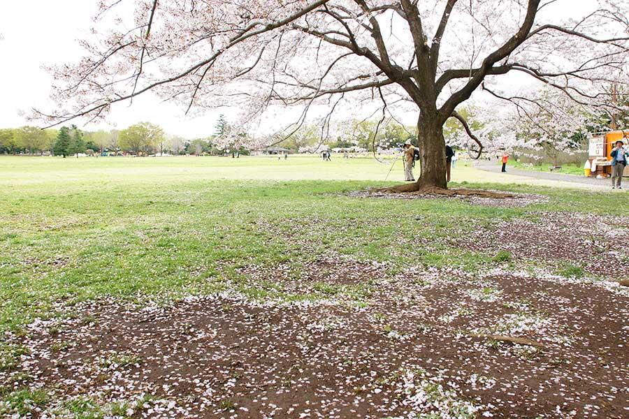 桜昭和記念公園17