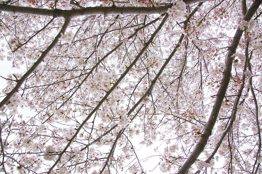 桜昭和記念公園16