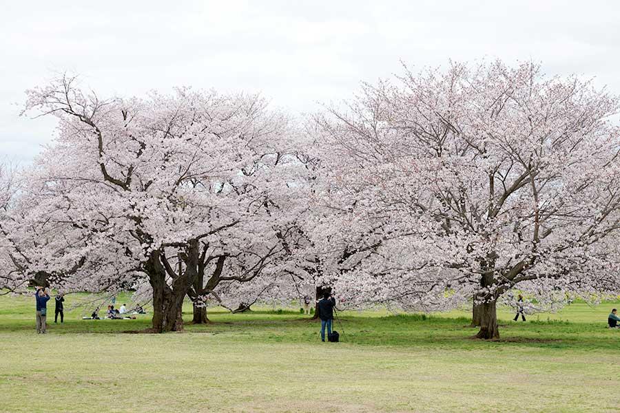 桜昭和記念公園13