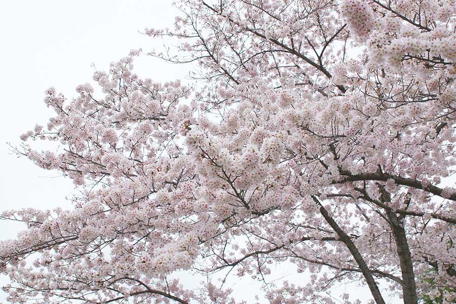 桜昭和記念公園6