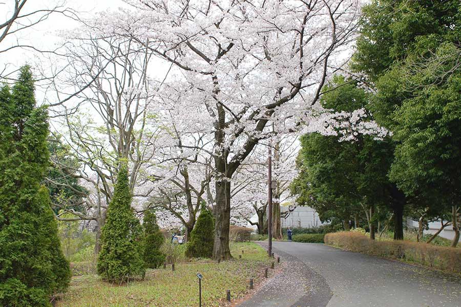 桜昭和記念公園3