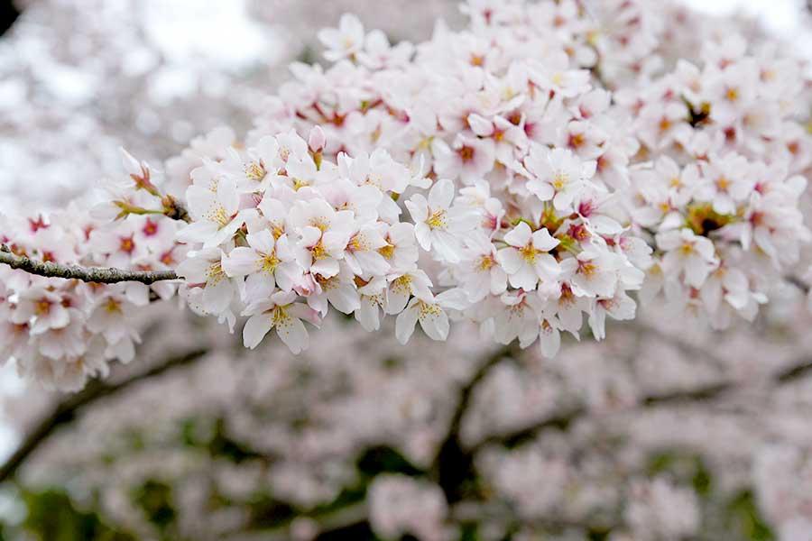 桜昭和記念公園7
