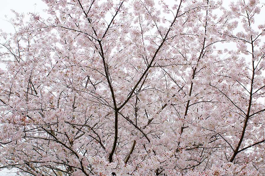 桜昭和記念公園10