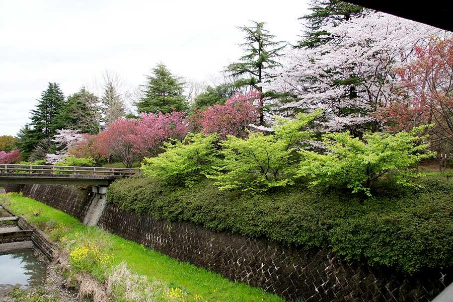 桜昭和記念公園2