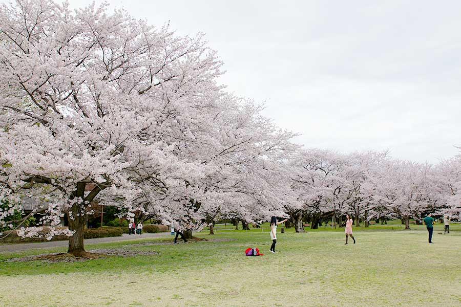 桜昭和記念公園14