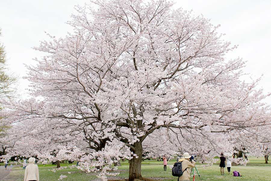 桜昭和記念公園12