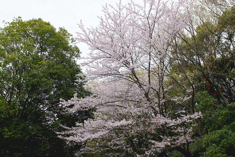 桜昭和記念公園4