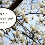 春が来た!真っ白なハクモクレンが咲き始めてた!