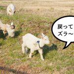 何かニオイがすると思ったら春になってヤギたちが戻ってきてた!