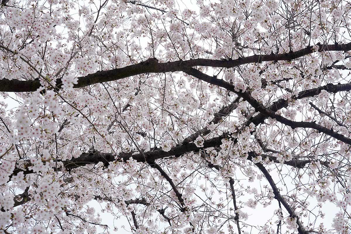 立川桜の名所花見2020