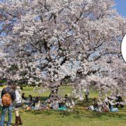昭和記念公園花見宴会なし